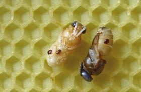 La amenaza de las abejas