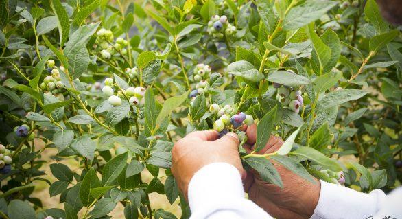Principado Berries, sinónimo de evolución